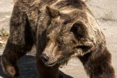 crizzly年轻人熊 免版税图库摄影