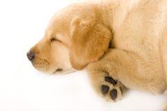 Crème somnolente de chien d'arrêt de Labrador de chiot Photos stock