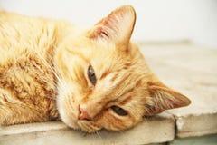 Cat Feline lying looking at camera Brazil. Cat Feline animal lying looking at camera são Paulo Brazil stock images