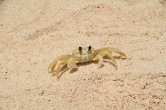 Yellow crab sand beach Brazil royalty free stock photos