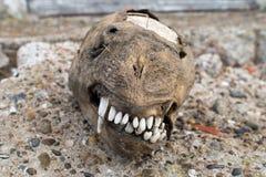 Crâne d'otarie d'opung de chiot Image libre de droits