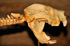 Crâne d'un lion marsupial dans une caverne Photos stock