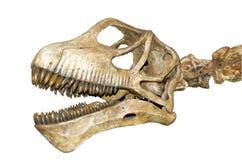 Crâne de dinosaur d'isolement Image libre de droits