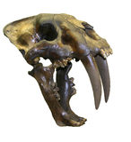 Crâne de tigre de dent de sabre Images libres de droits