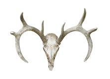Crâne principal et andouillers de cerfs communs d'isolement Images stock