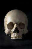 Cráneo Imagenes de archivo