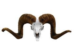 Cráneo animal Imagenes de archivo