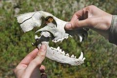 Cráneo de un depredador Fotos de archivo libres de regalías
