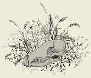 Cráneo de un depredador Foto de archivo libre de regalías
