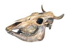 Cráneo de una vaca Imágenes de archivo libres de regalías