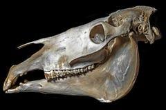 Cráneo del caballo Fotografía de archivo libre de regalías
