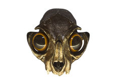 Cráneo del gato con los ojos Foto de archivo
