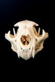 Cráneo del león de montaña con el fondo negro Imágenes de archivo libres de regalías