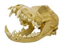 Cráneo del pequeño animal Foto de archivo