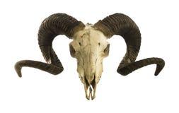 Cráneo del Ram con los cuernos grandes aislados en blanco Imágenes de archivo libres de regalías