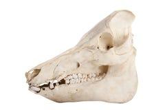 Cráneo del verraco Fotos de archivo libres de regalías