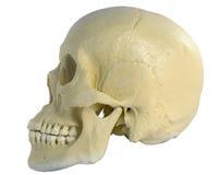 Cráneo humano Fotografía de archivo