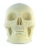 Cráneo humano Imagen de archivo libre de regalías