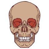Cráneo humano 06 Fotos de archivo libres de regalías