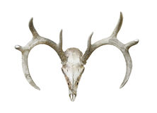 Cráneo principal y cornamentas de los ciervos aislados Imagenes de archivo