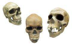 Crânes Photographie stock