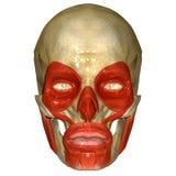 Crânio com o músculo do oculi dos orbicularis Imagem de Stock
