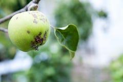 Croûte d'Apple, la maladie de fruit Photos stock