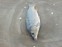 Croaker dead on beach Stock Image