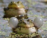 croaking βάτραχοι Στοκ φωτογραφίες με δικαίωμα ελεύθερης χρήσης