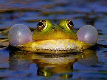 Croaking Bubble Frog Royalty Free Stock Photo