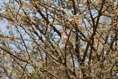Croaking Cisticola. Wild Croaking Cisticola in spring savannah royalty free stock photo