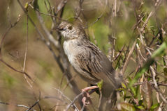 Croaking Cisticola portrait Stock Photo