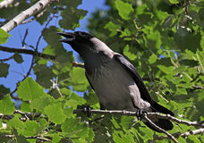 Croaking crow Royalty Free Stock Images