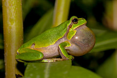 Croaking European tree frog Stock Photography