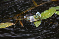 Croaking frog. Common frog (Rana temporaria) in the lake royalty free stock photography