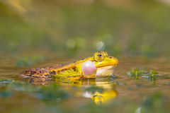 Croaking frog sideview Stock Photography