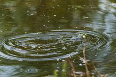 Croaking frog in a small pond.  royalty free stock image