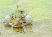 Croaking Frog Royalty Free Stock Photos