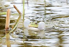 Croaking Frog. With swollen vocal sacs Stock Photography
