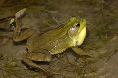 Croaking Green Frog Royalty Free Stock Image