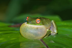 Croaking green tree frog Stock Image