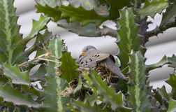 Croaking ground dove Columbina cruziana made nest on cactus. Croaking ground dove Columbina cruziana (Prevost, 1842) made a nest on a cactus in Peru royalty free stock photography