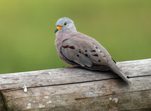Croaking Ground-Dove,Columbina cruziana. A small ground dove of gardens and open scrub area in south west of Ecuador.This bird is perching on a fence Stock Photography
