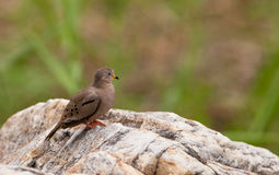 Croaking Ground Dove on rock Royalty Free Stock Photos