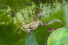 Croaking, the male marsh frog Pelophylax ridibundus in water. Communication royalty free stock photos