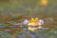 Croaking Pool frog Royalty Free Stock Photography
