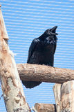 Croaking raven Stock Images