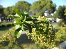 Croata flora2 Imagens de Stock Royalty Free
