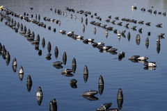Croatia. Mussels farming on Adriatic sea in Croatia Stock Images
