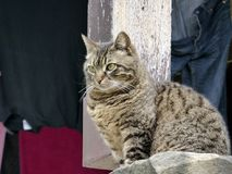 Croatia, Croatia, Hum, the smallest town in the world, a cat a domestic cat observes Stock Images